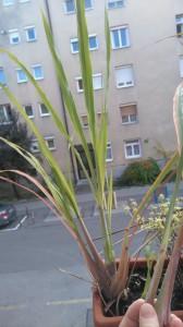 limonska-trava-1pom